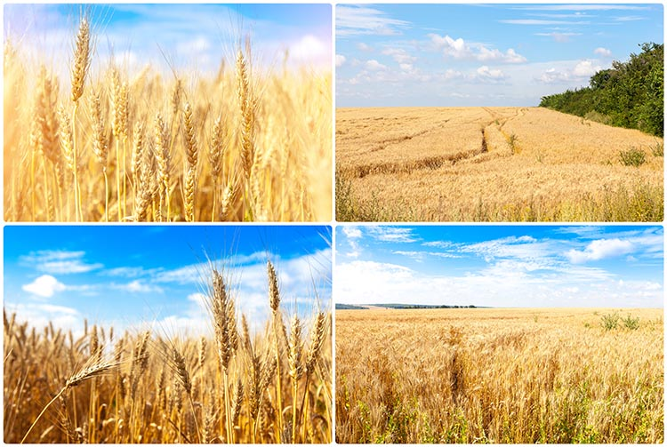 What is Winter Wheat